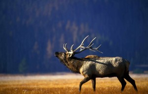 bull-elk-bugling-in-the-gibbon-meadow-in-the-yellowstone-national-park